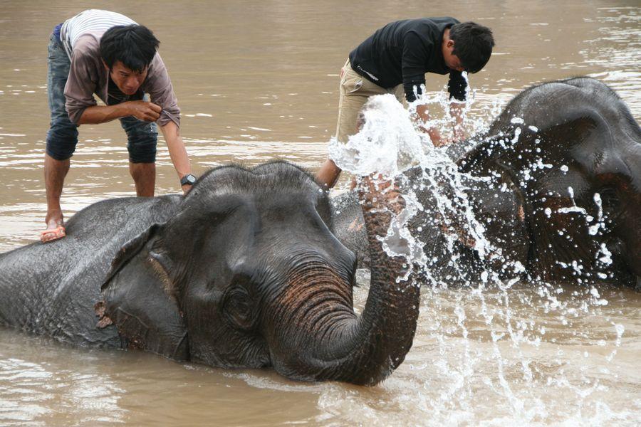 éléphant au Laos