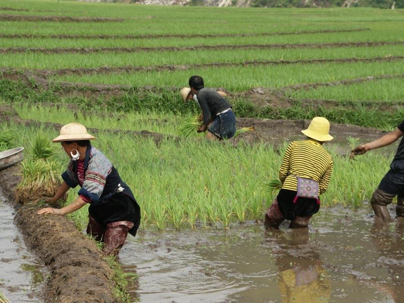 repiquage de riz